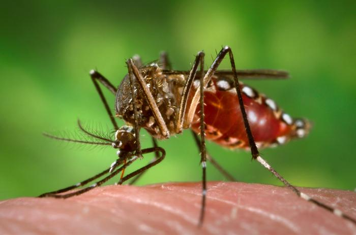 L'Aedes Aegypti, le moustique qui transmet le virus ZIka.